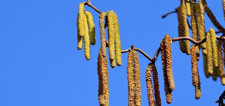 Alergikům končí klidové období. Březnu vládne bříza, vrby či topoly