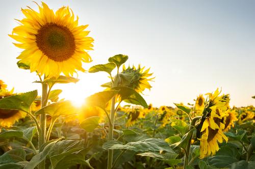 Zapomenutá léčivá síla slunečnic – pomůže s kožními problémy i se záněty dásní